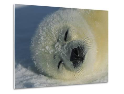 Resting Gray Seal Pup-Norbert Rosing-Metal Print