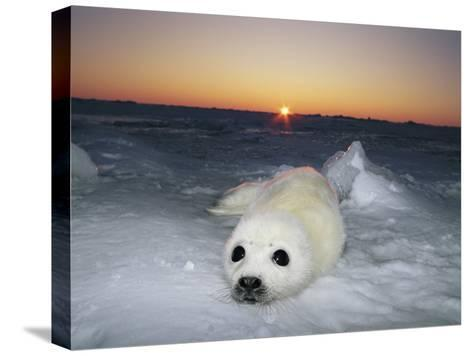 A Juvenile Gray Seal Pup Rests as the Sun Begins to Rise over the Snowy Landscape-Norbert Rosing-Stretched Canvas Print