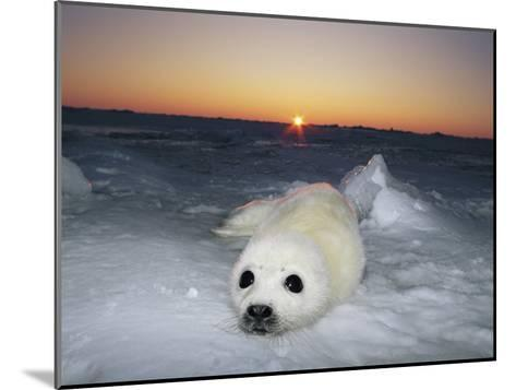 A Juvenile Gray Seal Pup Rests as the Sun Begins to Rise over the Snowy Landscape-Norbert Rosing-Mounted Photographic Print
