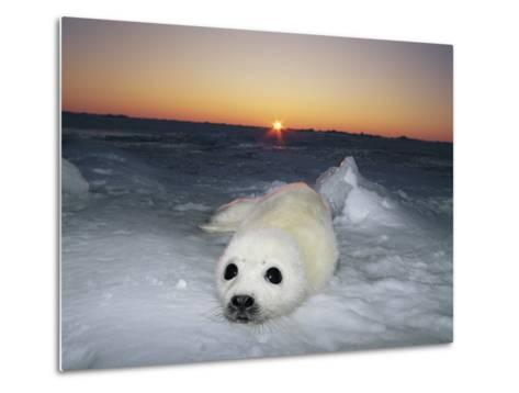 A Juvenile Gray Seal Pup Rests as the Sun Begins to Rise over the Snowy Landscape-Norbert Rosing-Metal Print
