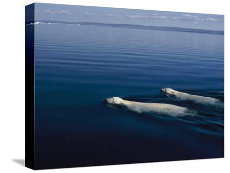 A Pair of Polar Bears Swimming in the Waters of Wager Bay-Norbert Rosing-Stretched Canvas Print