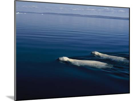 A Pair of Polar Bears Swimming in the Waters of Wager Bay-Norbert Rosing-Mounted Photographic Print