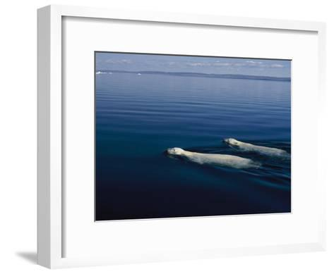 A Pair of Polar Bears Swimming in the Waters of Wager Bay-Norbert Rosing-Framed Art Print