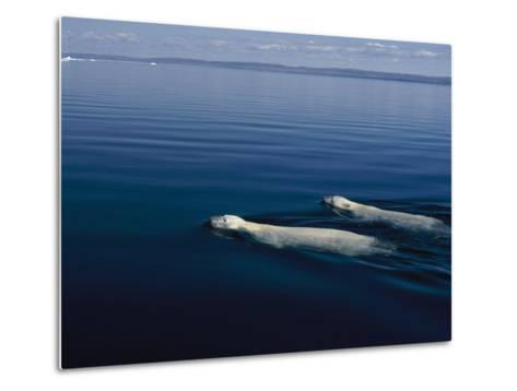 A Pair of Polar Bears Swimming in the Waters of Wager Bay-Norbert Rosing-Metal Print