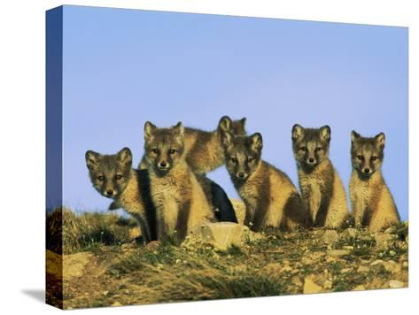 A Row of Curious Young Arctic Foxes Eye the Photographer-Norbert Rosing-Stretched Canvas Print