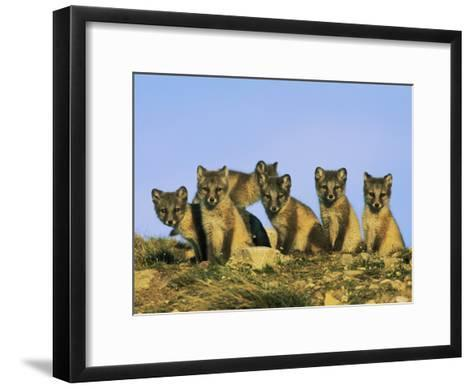A Row of Curious Young Arctic Foxes Eye the Photographer-Norbert Rosing-Framed Art Print