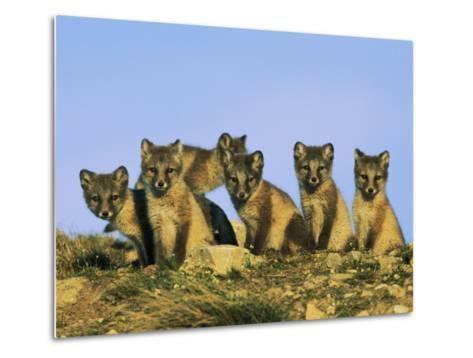 A Row of Curious Young Arctic Foxes Eye the Photographer-Norbert Rosing-Metal Print