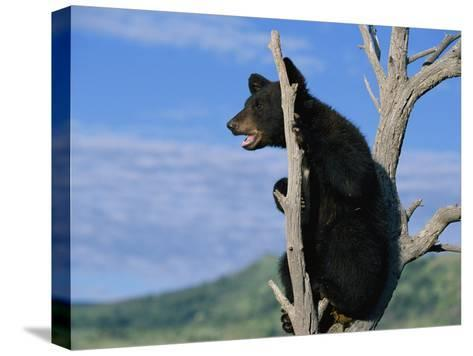 A Young American Black Bear Perches in the Fork of a Tree-Norbert Rosing-Stretched Canvas Print