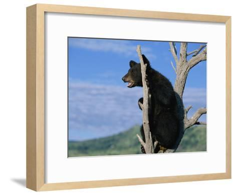 A Young American Black Bear Perches in the Fork of a Tree-Norbert Rosing-Framed Art Print