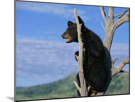 A Young American Black Bear Perches in the Fork of a Tree-Norbert Rosing-Mounted Photographic Print