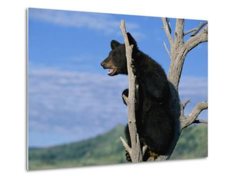 A Young American Black Bear Perches in the Fork of a Tree-Norbert Rosing-Metal Print