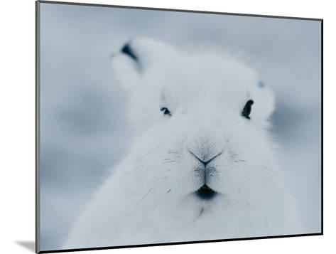 Close View of the Face of an Arctic Hare in Winter-Norbert Rosing-Mounted Photographic Print