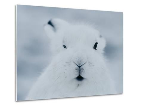Close View of the Face of an Arctic Hare in Winter-Norbert Rosing-Metal Print
