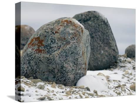 Arctic Hare Resting Near a Boulder-Norbert Rosing-Stretched Canvas Print