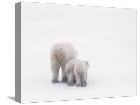 Rear View of a Polar Bear and Her Two Cubs-Norbert Rosing-Stretched Canvas Print