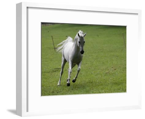 Galloping Arabian Horse-James L^ Stanfield-Framed Art Print