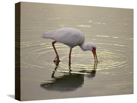 A White Ibis Sticks His Beak in the Water Looking for a Meal-Nicole Duplaix-Stretched Canvas Print
