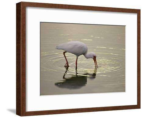 A White Ibis Sticks His Beak in the Water Looking for a Meal-Nicole Duplaix-Framed Art Print