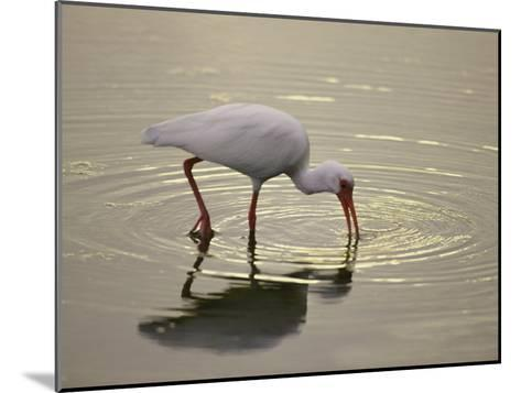 A White Ibis Sticks His Beak in the Water Looking for a Meal-Nicole Duplaix-Mounted Photographic Print