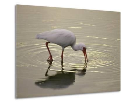 A White Ibis Sticks His Beak in the Water Looking for a Meal-Nicole Duplaix-Metal Print