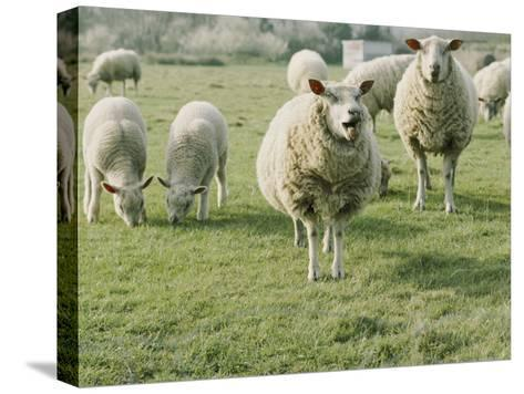 Sheep in a Field in Brittany-Nicole Duplaix-Stretched Canvas Print
