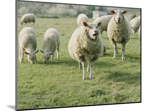Sheep in a Field in Brittany-Nicole Duplaix-Mounted Photographic Print