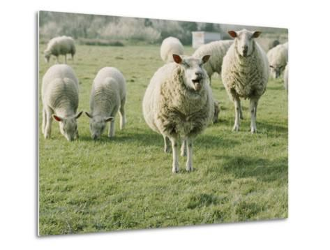 Sheep in a Field in Brittany-Nicole Duplaix-Metal Print