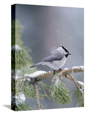 A Mountain Chickadee Weathers a Winter Snowstorm in a Pinetree-Michael S^ Quinton-Stretched Canvas Print