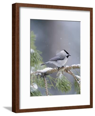 A Mountain Chickadee Weathers a Winter Snowstorm in a Pinetree-Michael S^ Quinton-Framed Art Print
