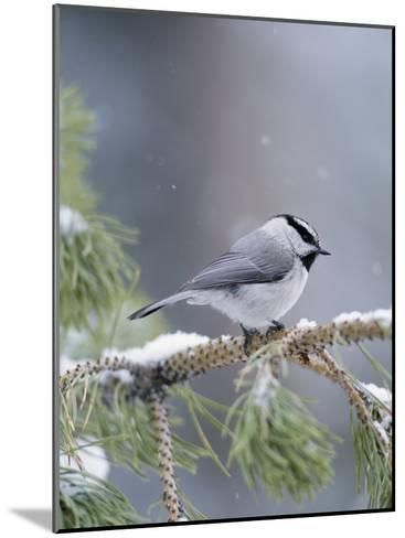 A Mountain Chickadee Weathers a Winter Snowstorm in a Pinetree-Michael S^ Quinton-Mounted Photographic Print