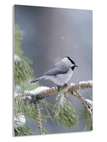 A Mountain Chickadee Weathers a Winter Snowstorm in a Pinetree-Michael S^ Quinton-Metal Print