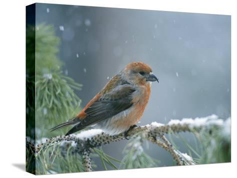 A Red Crossbill Weathers a Snowstorm in a Pinetree-Michael S^ Quinton-Stretched Canvas Print