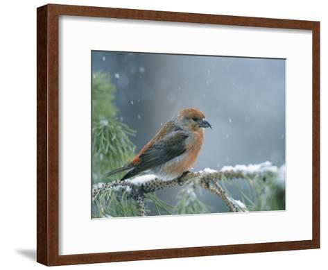 A Red Crossbill Weathers a Snowstorm in a Pinetree-Michael S^ Quinton-Framed Art Print