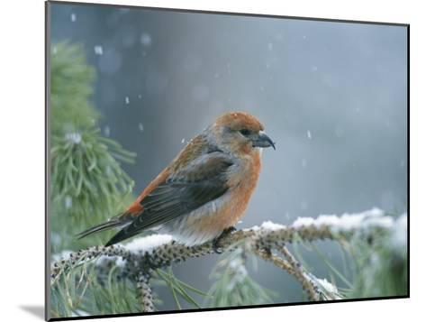 A Red Crossbill Weathers a Snowstorm in a Pinetree-Michael S^ Quinton-Mounted Photographic Print