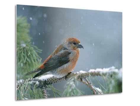 A Red Crossbill Weathers a Snowstorm in a Pinetree-Michael S^ Quinton-Metal Print