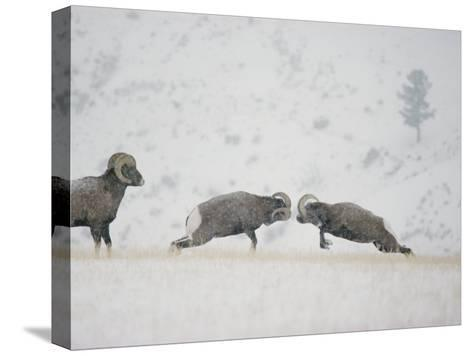 American Bighorn Rams Square off in a Duel-Michael S^ Quinton-Stretched Canvas Print