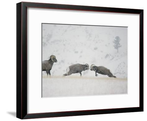 American Bighorn Rams Square off in a Duel-Michael S^ Quinton-Framed Art Print