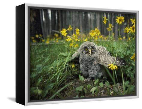 Great Gray Owlet on the Ground Amid Arnica and Grasses-Michael S^ Quinton-Framed Canvas Print