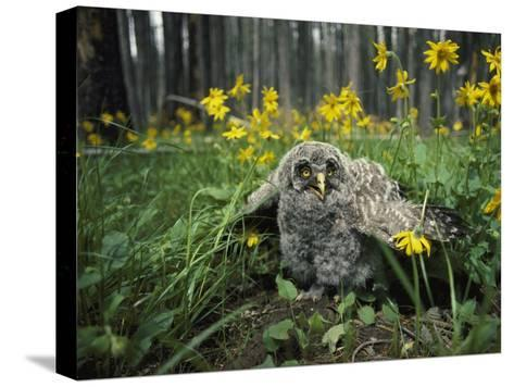 Great Gray Owlet on the Ground Amid Arnica and Grasses-Michael S^ Quinton-Stretched Canvas Print