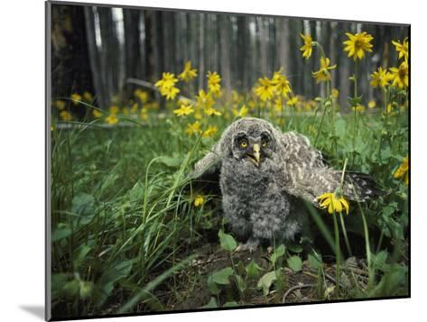 Great Gray Owlet on the Ground Amid Arnica and Grasses-Michael S^ Quinton-Mounted Photographic Print