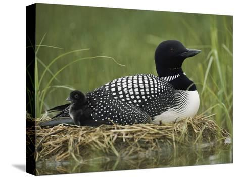 A Common Loon Sits on Her Marshy Nest-Michael S^ Quinton-Stretched Canvas Print