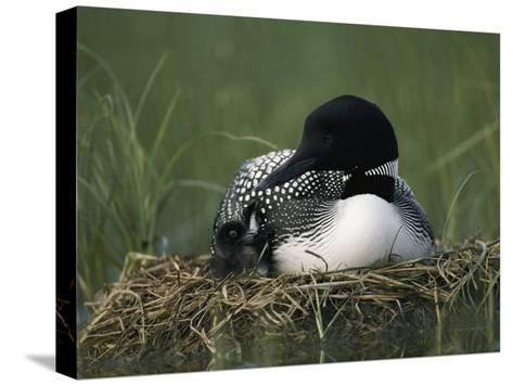 A Common Loon Sits with a Chick on Her Marshy Nest-Michael S^ Quinton-Stretched Canvas Print
