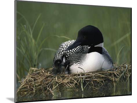 A Common Loon Sits with a Chick on Her Marshy Nest-Michael S^ Quinton-Mounted Photographic Print