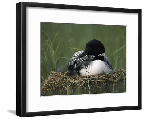 A Common Loon Sits with a Chick on Her Marshy Nest-Michael S^ Quinton-Framed Art Print