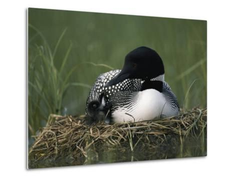 A Common Loon Sits with a Chick on Her Marshy Nest-Michael S^ Quinton-Metal Print