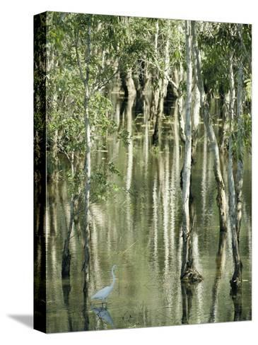 A Great Egret Wading Through a Swamp-Jason Edwards-Stretched Canvas Print