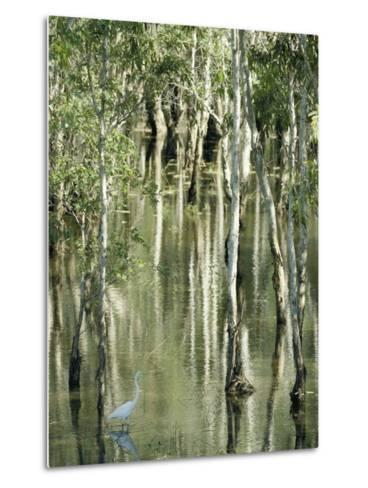 A Great Egret Wading Through a Swamp-Jason Edwards-Metal Print