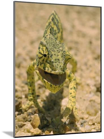 Close View of a Flap-Necked Chameleon-Jason Edwards-Mounted Photographic Print