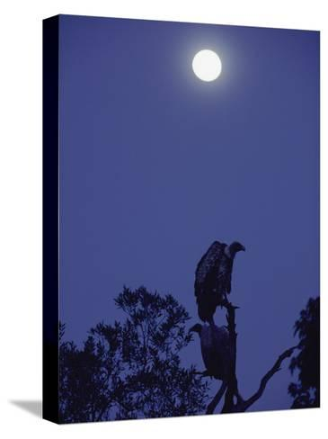 A Vulture Sits on a Branch under the Light of a Full Moon-Jason Edwards-Stretched Canvas Print