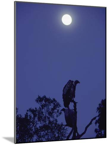 A Vulture Sits on a Branch under the Light of a Full Moon-Jason Edwards-Mounted Photographic Print